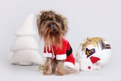 作为圣诞老人穿戴的约克夏狗 库存图片