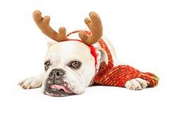 作为圣诞节驯鹿穿戴的疲乏的牛头犬 图库摄影
