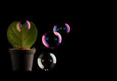 作为在与肥皂watter的黑色隔绝的心脏的绿色仙人掌起泡 库存照片