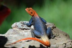 作为子项的蜥蜴喂养我请戏弄您 免版税图库摄影