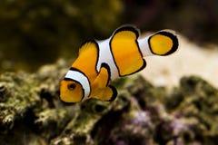 作为小丑鱼已知的nemo percula的双锯鱼 库存照片