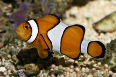 作为小丑鱼已知的nemo percula的双锯鱼 免版税图库摄影
