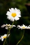 作为心脏被塑造的雏菊 免版税库存照片