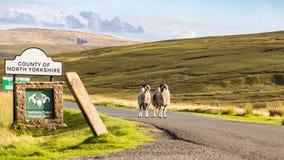 作为房客的两只绵羊守卫对约克夏山谷 库存照片
