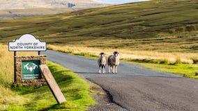 作为房客的两只绵羊守卫对约克夏山谷 免版税库存图片
