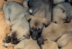 作为护卫犬的土耳其品种牧羊犬小狗坎加尔 免版税库存照片