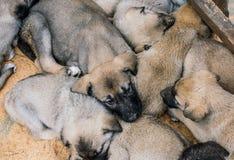 作为护卫犬的土耳其品种牧羊犬小狗坎加尔 免版税图库摄影