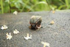 作为新娘的蜗牛 库存图片