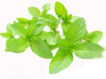 作为新鲜的草本叶子造币厂的香料茶 图库摄影