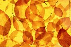 作为明亮的秋天背景的黄色树叶子 免版税库存图片