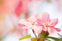 作为春天开花季节的桃红色樱桃花绽放 免版税库存照片