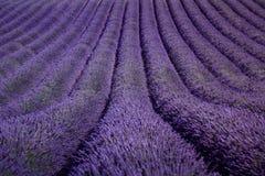 作为样式或纹理的淡紫色花开花的领域 普罗旺斯, 免版税库存照片