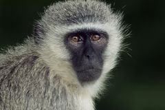 作为猕猴科chlorocebus系列已知的猴子当地老pygerythrus的非洲完全有时对vervet世界 库存照片