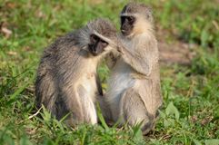 作为猕猴科chlorocebus系列已知的猴子当地老pygerythrus的非洲完全有时对vervet世界 免版税库存图片