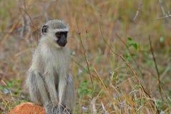 作为猕猴科chlorocebus系列已知的猴子当地老pygerythrus的非洲完全有时对vervet世界 库存图片