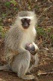 作为猕猴科chlorocebus系列已知的猴子当地老pygerythrus的非洲完全有时对vervet世界 免版税库存照片