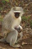 作为猕猴科chlorocebus系列已知的猴子当地老pygerythrus的非洲完全有时对vervet世界 免版税图库摄影