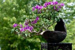 作为盆景bouganvillea结构树 免版税库存图片