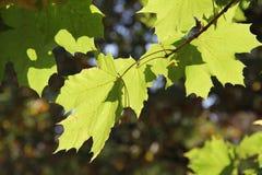 作为秋天背景叶子 免版税库存照片