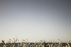 作为空间的空的夏天天空与开花的兔宝宝带的文本的盯梢草在底层边缘 免版税库存照片
