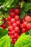 作为美味的果子食物的红浆果 库存图片