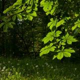 作为背景栗子花卉好叶子 免版税库存照片