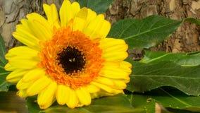 作为背景的一朵黄色花吠声 免版税库存照片