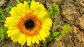 作为背景的一朵黄色花吠声 库存图片