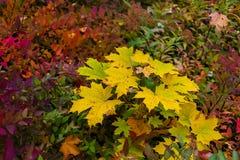 作为背景的五颜六色的秋天槭树叶子 免版税库存照片