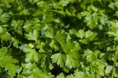 作为背景的新鲜的绿色荷兰芹叶子 图库摄影