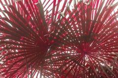 作为背景的特写镜头红色棕榈树叶子 免版税图库摄影