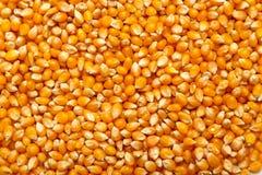 作为背景的玉米纹理 免版税库存照片