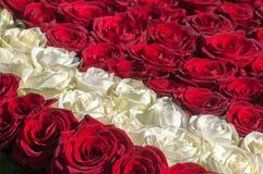 作为背景的红色和白玫瑰 免版税库存图片