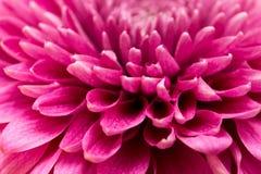 作为背景的红色花菊花 关闭 免版税库存图片