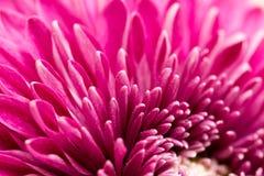 作为背景的红色花菊花 关闭 免版税图库摄影