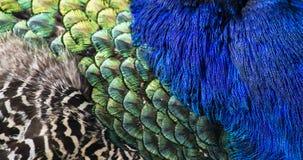 作为背景的美丽的孔雀羽毛 库存照片