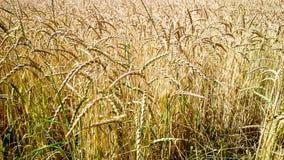 作为背景的金黄,成熟麦田 库存图片