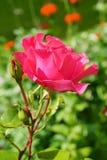 作为背景看板卡重点绿色问候爱红色浪漫史玫瑰色符号有用的华伦泰 免版税库存图片