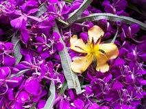 作为药用植物使用的为可口茶和夹竹桃 免版税库存照片