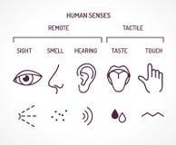 作为视域的五基本的人的感觉嗅到听力口味并且接触 向量例证