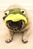 作为逗人喜爱的穿戴的青蛙哈巴狗 库存图片