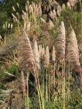 3 8 9作为通常高cortaderia ft草生长高度已知的m南美大草原的selloana 免版税图库摄影