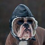 作为飞行员的Bulldogg 免版税库存图片