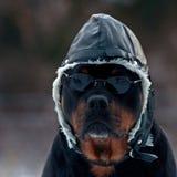 作为飞行员的Rottweiler 图库摄影