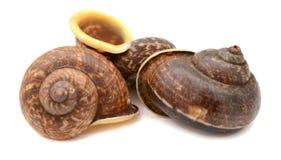 作为食物准备的蜗牛escargot 图库摄影