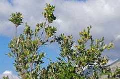 作为食物自由火腿霍莉河边低地ib冬青属橡木猪生产栎属范围抚养了使用的rico 库存照片