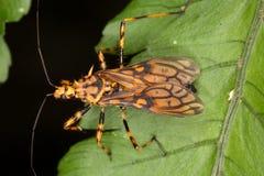 作为黄蜂假装的掠食性臭虫 免版税库存照片