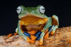 作成蜘蛛网状黑色的treefrog 免版税图库摄影