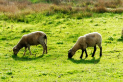 作梦关于绵羊 库存图片