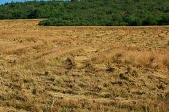 作物保险 被毁坏的麦子 图库摄影